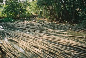 bambous3
