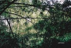bambous4