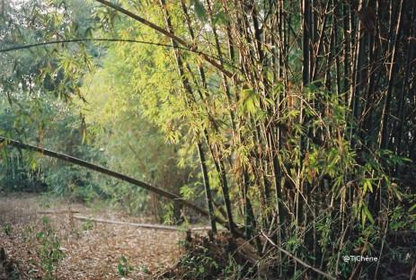 bambous7