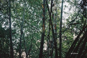 bambous8