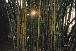 bambous9